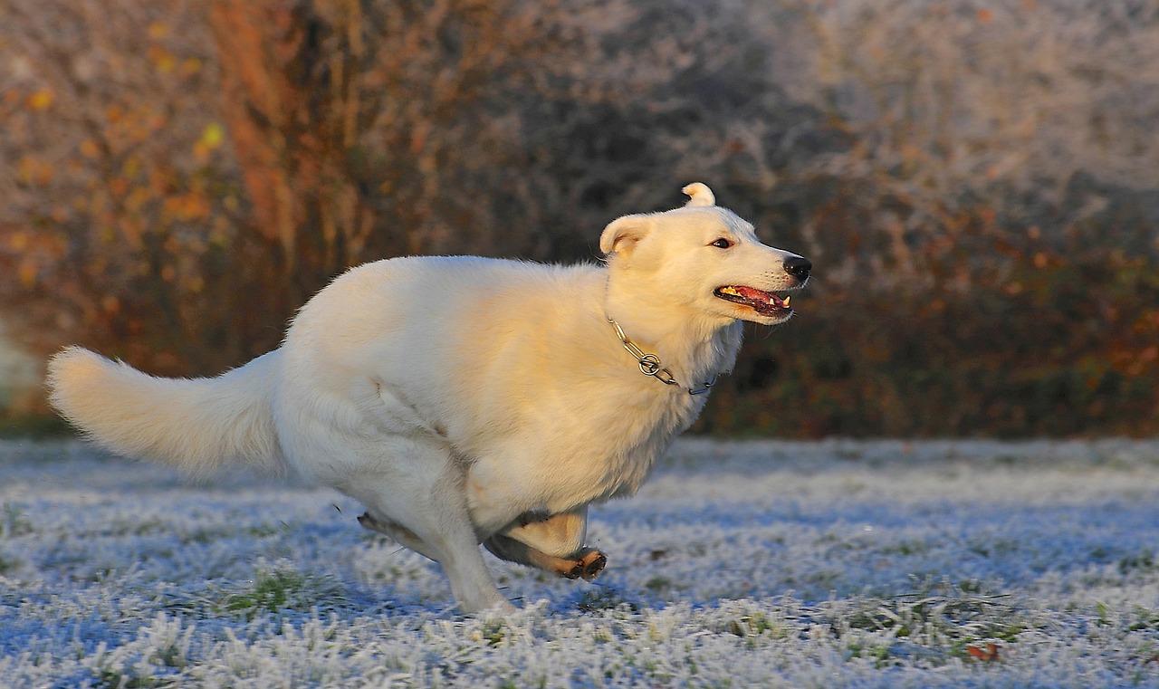 medycyna regeneracyjna u psa, metoda rms
